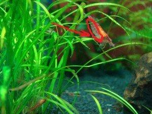Crevette grainée dans Nouveauté des aquarium DSC08290-300x225